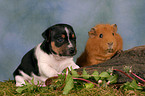 puppy and guinea pig