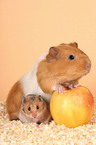guinea pig and golden hamster