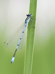 Common blue Damselfly