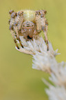 four-spotted cross spider