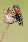 tachinids parasitic fly