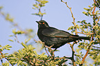 african red-winged starling