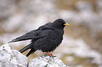 standing Alpine Chough