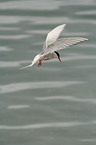 flying Arctic Tern