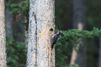 Arctic woodpeckers