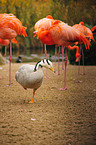 bar-headed goose and flamingos