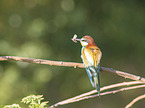 sitting Bee-eater