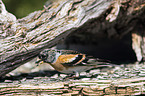 sitting Brambling