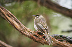 brush wattlebird
