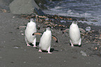 3 chinstrap penguins