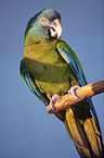 Coulon's macaw