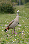 standing Egyptian Goose