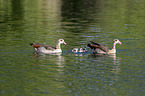 swimming Egyptian Geese