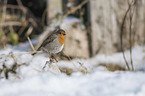 sitting European Robin