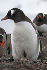gentoo penguin with egg