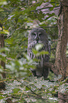sitting Great Grey Owl