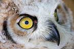 canadian eagle owl