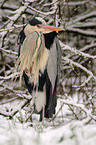 gray heron in snow