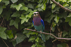 sitting Lilac-breasted Roller