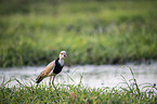 standing Long-Toed Lapwing