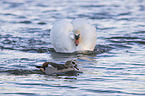 Mute Swan and Egyptian Goose