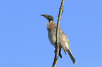 noisy friarbird sits on branch