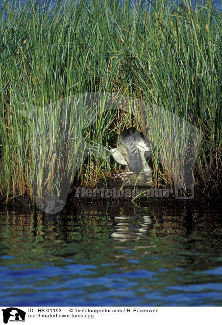 red-throated diver turns egg / HB-01193
