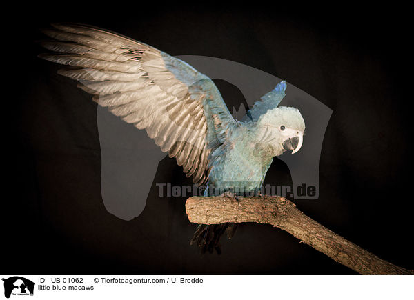 little blue macaws / UB-01062