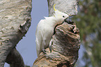 sitting Sulphur-crested Cockatoo