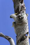 sitting Sulphur-crested Cockatoos