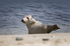 Common Seal at the beach