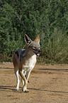walking black-backed jackal