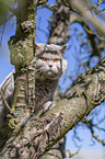 British Shorthair sits in the tree