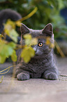 lying British Shorthair Kitten