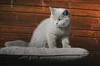 young British Shorthair