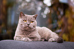 lying British Shorthair