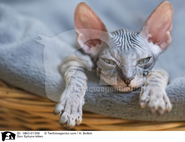 HBO-01398 - Don Sphynx kitten images stock pictures buy professional