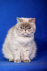 sitting Exotic-Shorthair