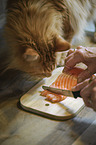 Maine Coon with salmon