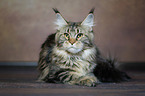 lying Maine Coon