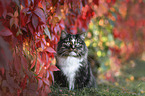 Norwegian forest cat in front of vine leaves