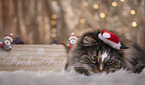 Norwegian Forest Cat with christmas decoration