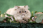 lying Persian Cat Colourpoint