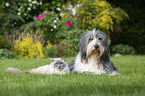 Ragdoll and Bearded Collie