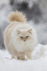 Ragdoll in the snow