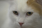 Turkish Van Portrait