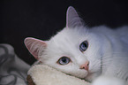 lying Turkish Van