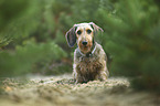 sitting Dachshund-Mongrel