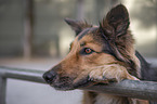 Australian-Shepherd-Border-Collie-Mongrel