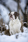 Alapaha Blue Blood Bulldog in the winter